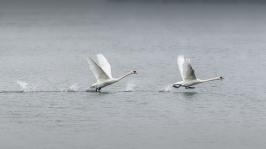 Running Swans